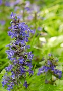 26th May 2012 - Ajuga Along the Driveway