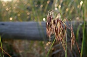 26th May 2012 - Beach Grass Bokeh
