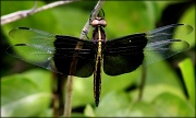 27th May 2012 - Widow Skimmer