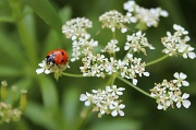 28th May 2012 - Ladybird, Ladybird