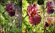 26th May 2012 - Iris