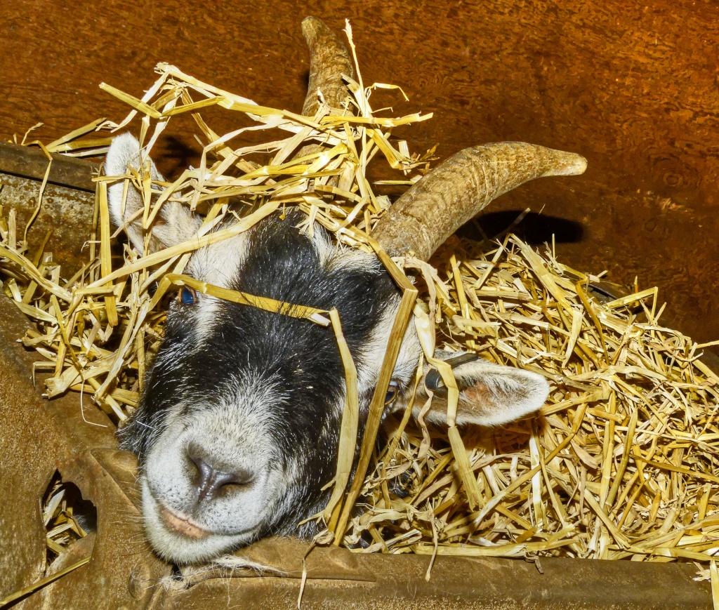goat in a manger by jantan
