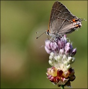 28th May 2012 - Gray Hairstreak