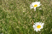 28th May 2012 - Daisies in the Field