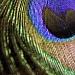 peacock bokeh by corymbia