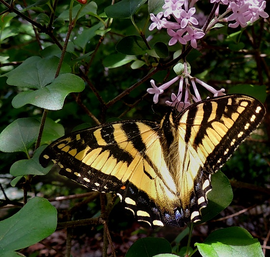Tiger Swallowtail by sunnygreenwood