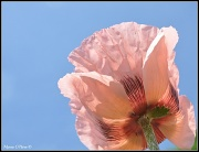 29th May 2012 - Pink Peachy Poppy Looking Skyward.