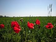 28th May 2012 - Wheat .