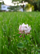 29th May 2012 - Clover1