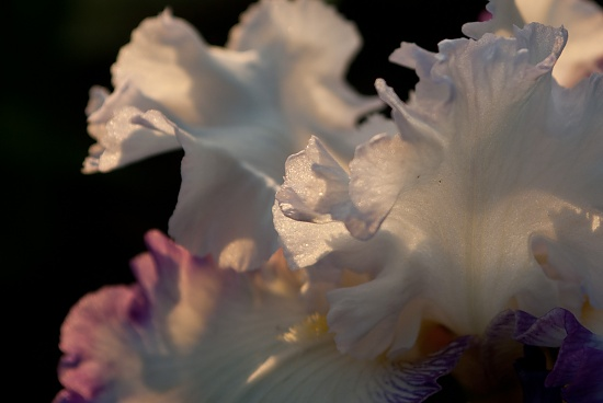Iris At Sunset by vickisfotos
