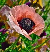 30th May 2012 - Purple Inside of Pinky Peachy Poppy