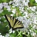 Tiger Swallowtail (thanks to Trina Paula Holub for identifying.) by maggie2