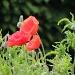Poppies by rosiekind