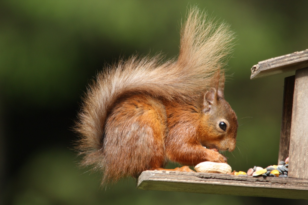 Red Squirrel by natsnell
