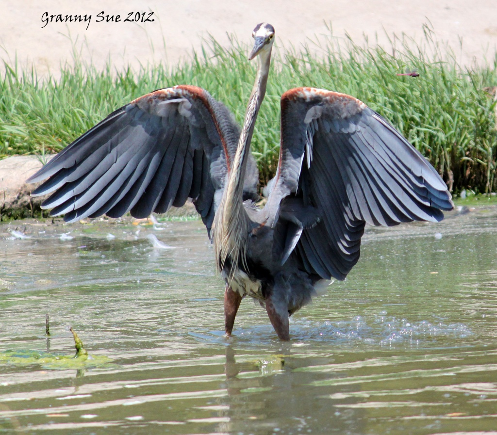 Strutting His Stuff or Showing Off by grannysue