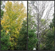 25th Jun 2010 - (correction) Liquid Amber Tree leaves - Going  - Gone