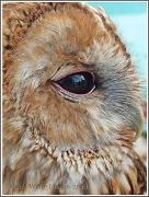 1st Jun 2012 - Tawny Owl