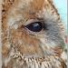 Tawny Owl by carolmw