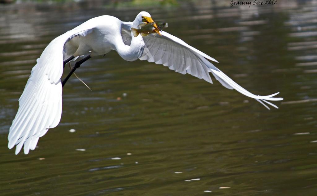 Flying Fish    by grannysue