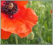 2nd Jun 2012 - Poppy