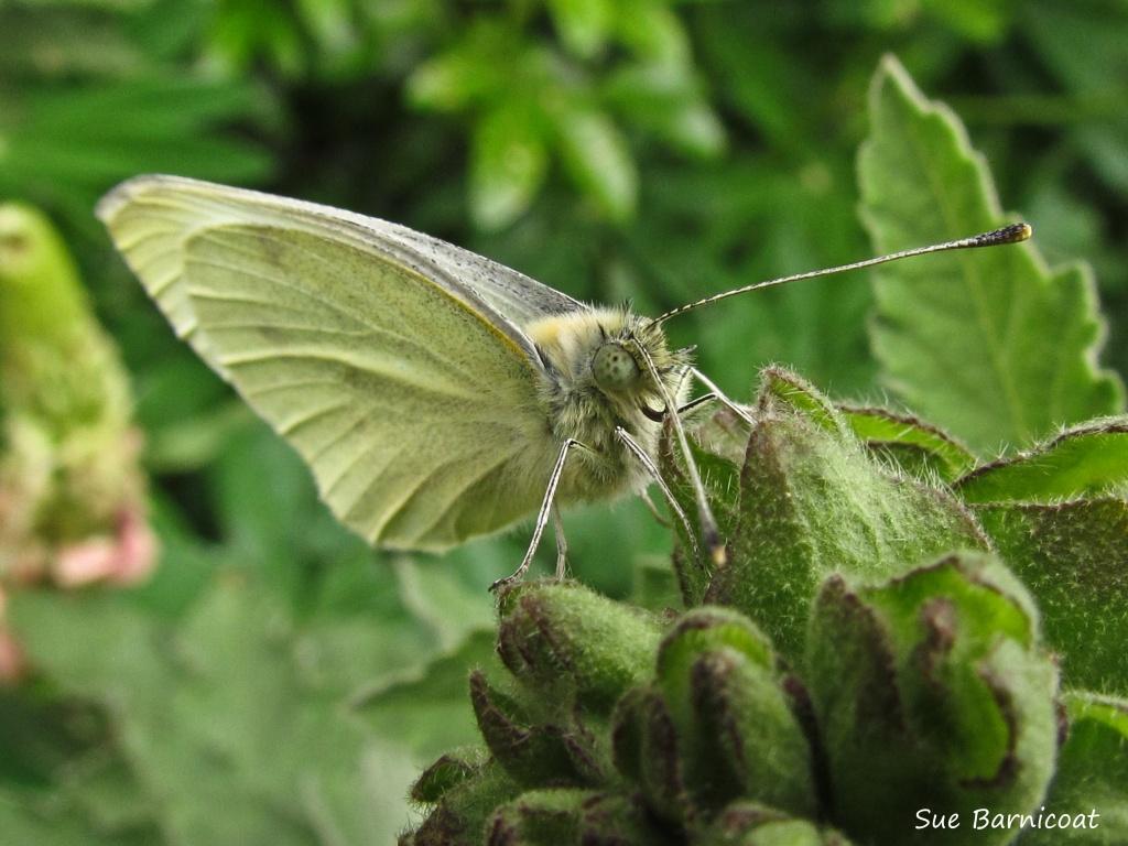 Butterfly by suebarni