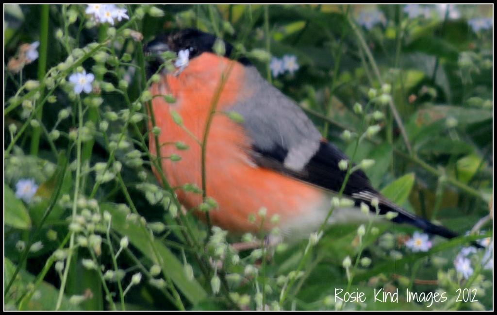 Bullfinch by rosiekind
