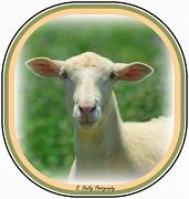 4th Jun 2012 - Sheepish