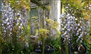 31st May 2012 - Wisteria 2