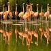 Flamingo by netkonnexion