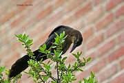 6th Jun 2012 - One more Grackle