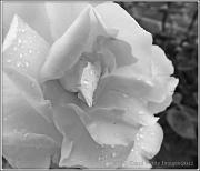7th Jun 2012 - A Rose Is Still A Rose
