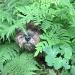 Jinks hiding in the fernery by quietpurplehaze