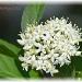 star white by mjmaven