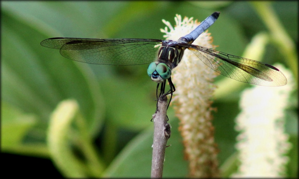 Blue Dasher by cjwhite