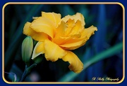 11th Jun 2012 - Yellow Day Lily