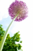 10th Jun 2012 - A Chive on Steroids