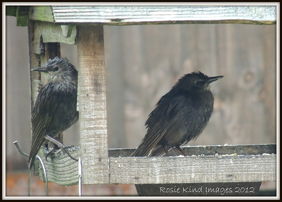 Starlings on a rainy day  by rosiekind