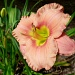 Pink Daylily by calm