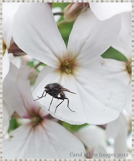Wildflower And Fly by carolmw