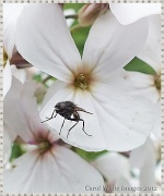12th Jun 2012 - Wildflower And Fly