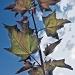 Maple leaves by vikdaddy