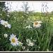 Meadow flowers by busylady