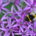Allium with Bee by seanoneill