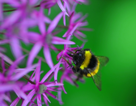 Allium with Bee and green background by seanoneill