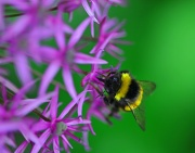 13th Jun 2012 - Allium with Bee and green background