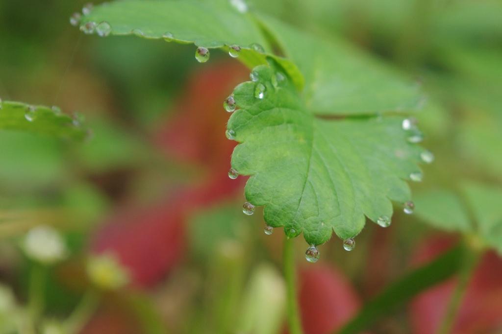 Dew Drops by vickisfotos