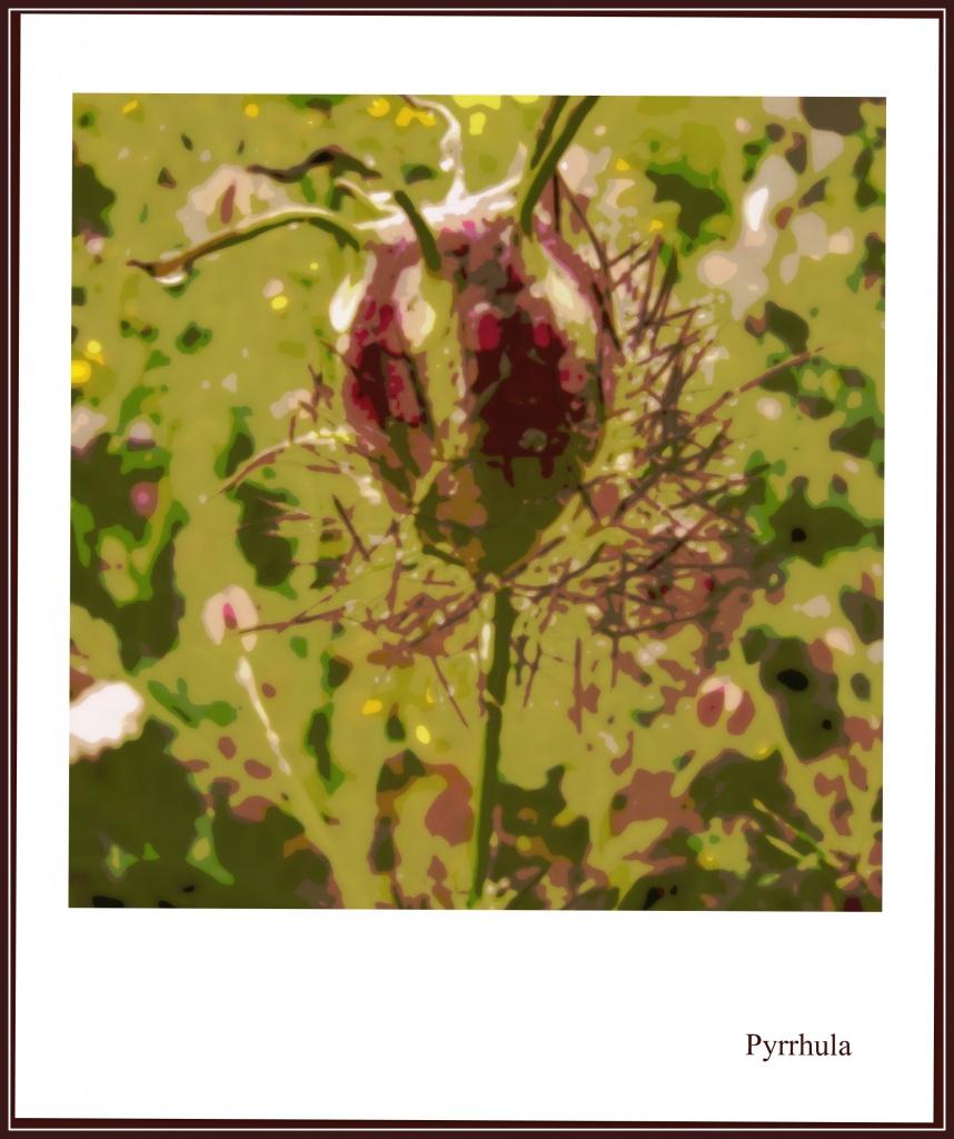 Nigella seed  by pyrrhula