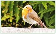"15th Jun 2012 - ""What's In Your Beak,Robin?"""