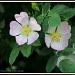 Dog Roses by rosiekind