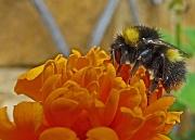 13th Jun 2012 - bumble bee and marigold